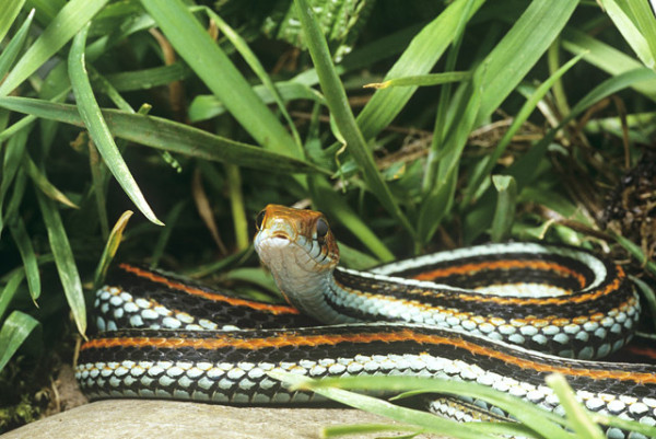 San Francisco garter snake (Thamnophis sirtalis tetrataenia) by David Lawson via WWF UK