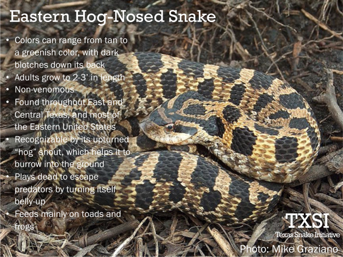 "The Eastern Hog-Nosed Snake is a non-venomous snake in Eastern and Central Texas. It is known for its upturned ""hog"" snout, which it uses to burrow in the ground. It feeds on mainly toads and frogs."