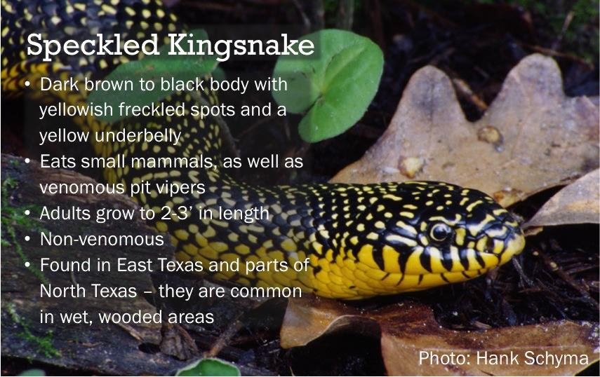 Snake Of The Day Speckled Kingsnake Txsi