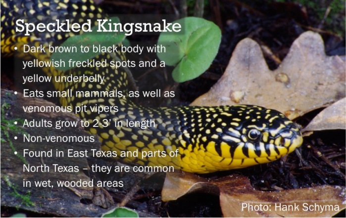 Speckled Kingsnakes are found in North and East Texas.