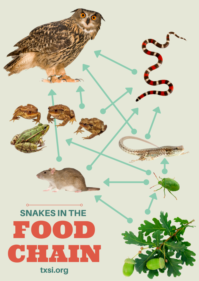 Snakes in the food chain predators prey